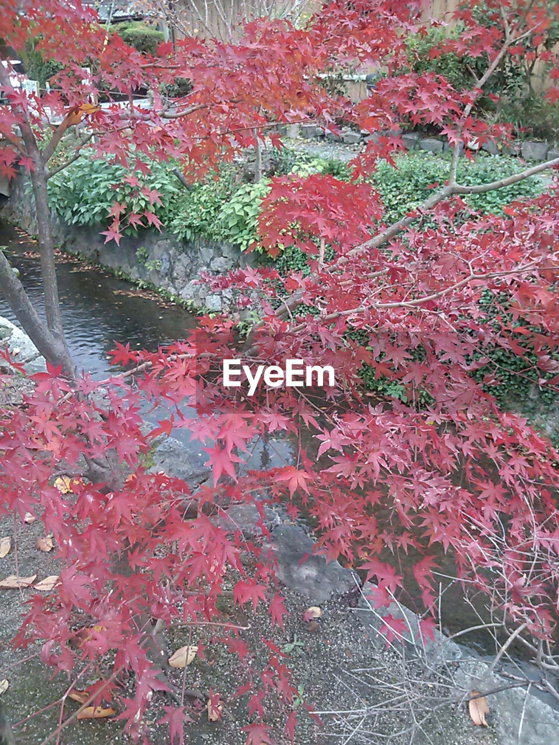 tree, flower, growth, red, branch, beauty in nature, nature, freshness, pink color, season, autumn, tranquility, change, day, plant, outdoors, blossom, leaf, no people, fragility