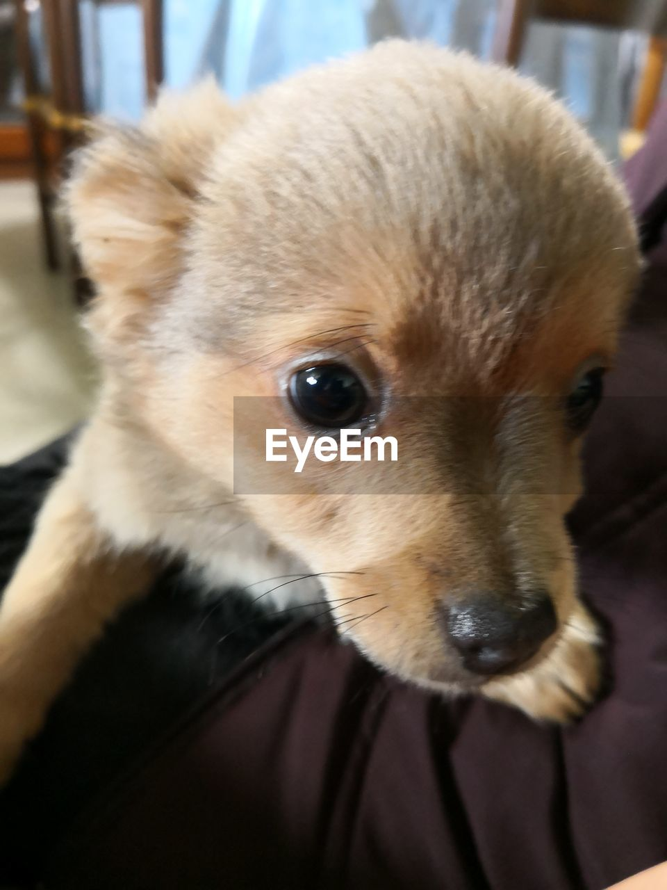 one animal, mammal, domestic, animal themes, pets, dog, canine, animal, domestic animals, close-up, vertebrate, focus on foreground, portrait, indoors, animal body part, no people, animal head, looking at camera, brown, young animal, chihuahua - dog, whisker, animal eye