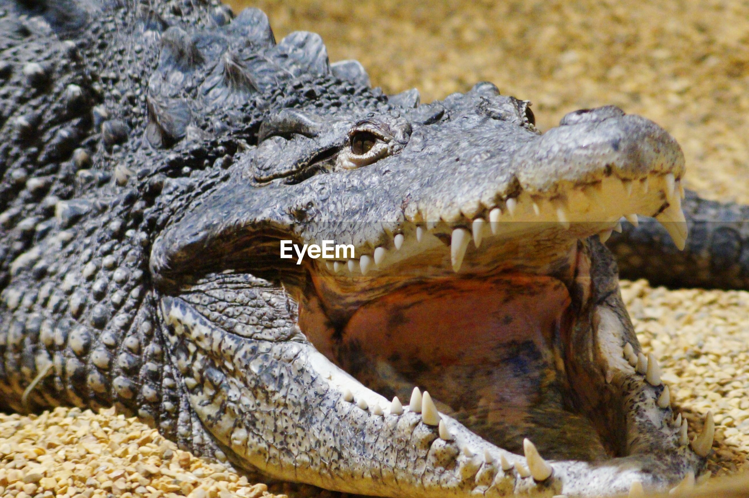 Close-up of crocodile with mouth open on field
