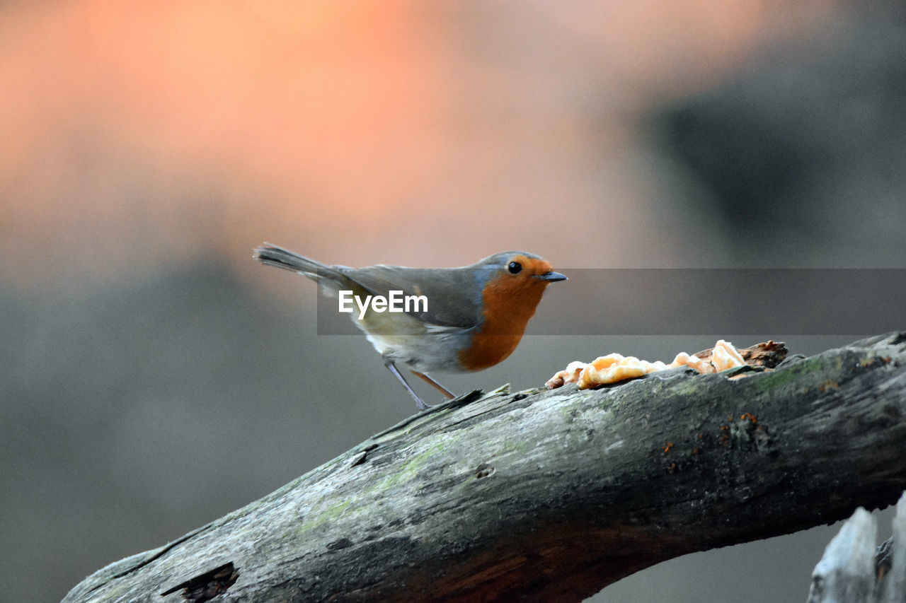 Close-Up Of Robin Perching On Tree