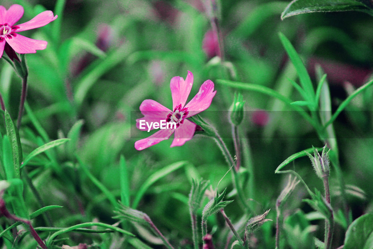 flowering plant, plant, flower, beauty in nature, fragility, freshness, growth, vulnerability, pink color, petal, close-up, inflorescence, flower head, nature, day, plant part, no people, focus on foreground, green color, leaf, outdoors