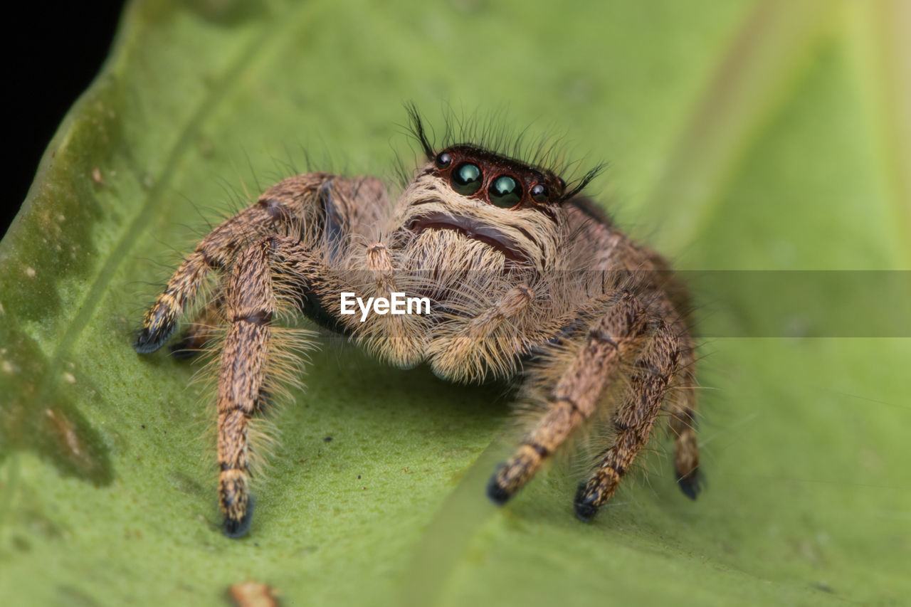 animal, animal wildlife, animal themes, invertebrate, animals in the wild, one animal, insect, arachnid, jumping spider, selective focus, spider, arthropod, green color, close-up, nature, leaf, zoology, no people, plant part, day, animal leg, animal eye