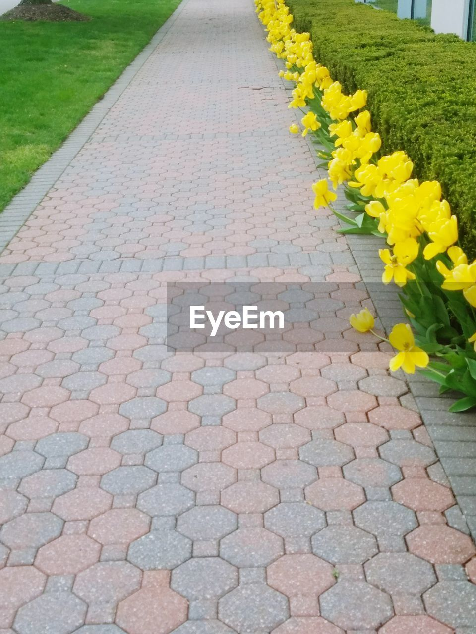 flower, footpath, yellow, cobblestone, outdoors, day, nature, no people, plant, petal, growth, beauty in nature, fragility, road, walkway, grass, close-up, freshness, flower head
