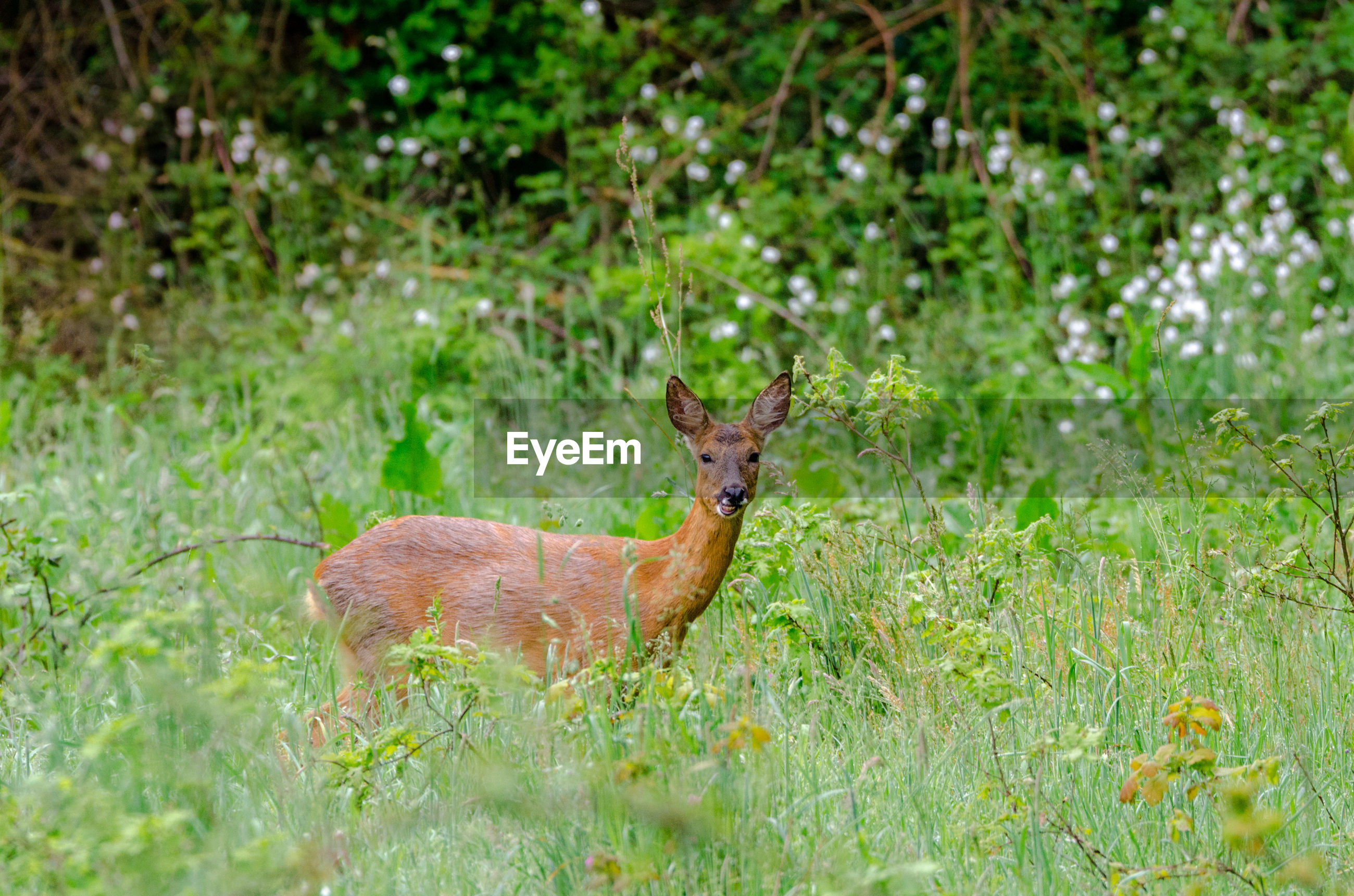 SIDE VIEW OF DEER IN GREEN FIELD
