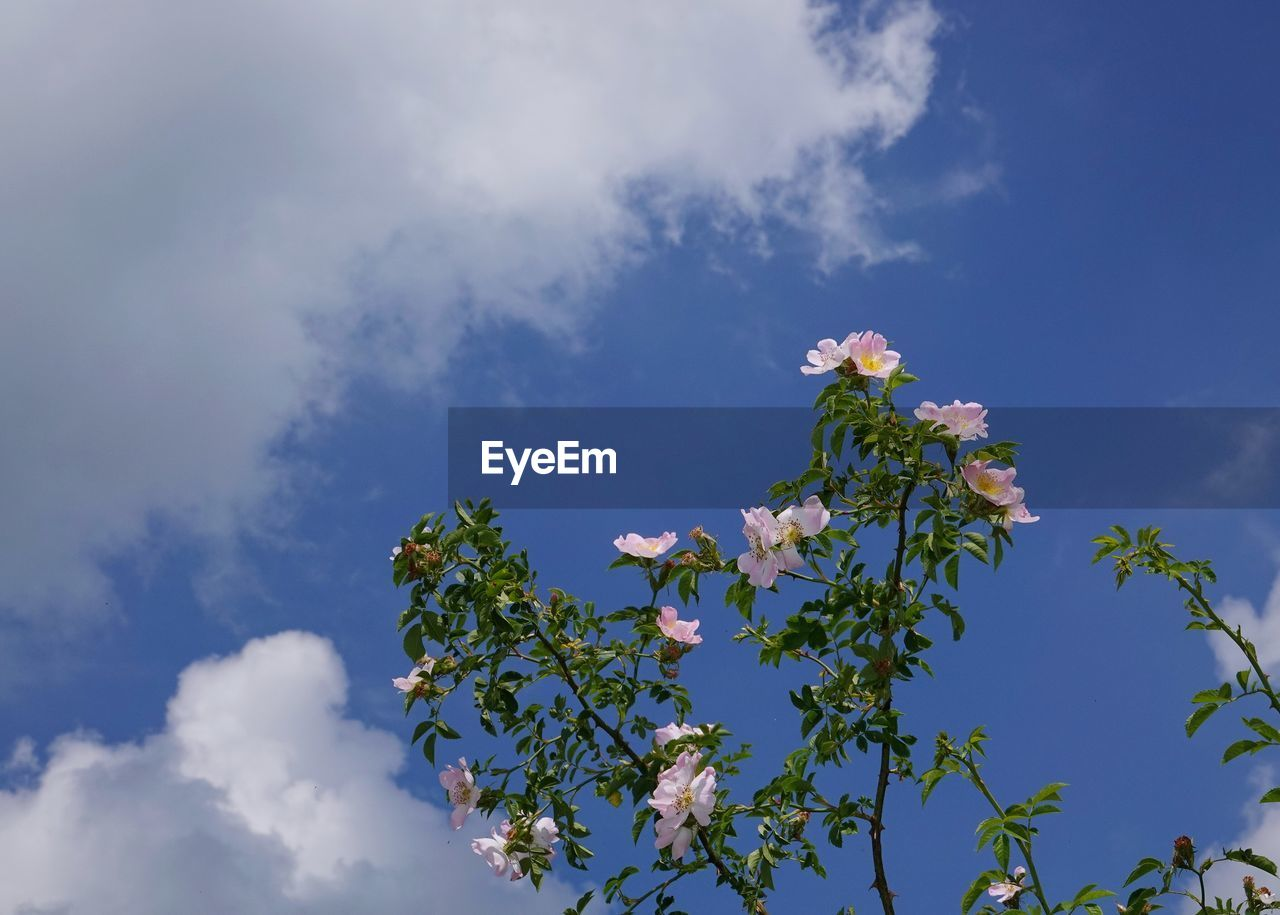 flower, sky, plant, flowering plant, cloud - sky, beauty in nature, low angle view, growth, freshness, nature, fragility, vulnerability, day, no people, tree, blue, plant part, leaf, outdoors, white color, flower head, cherry blossom