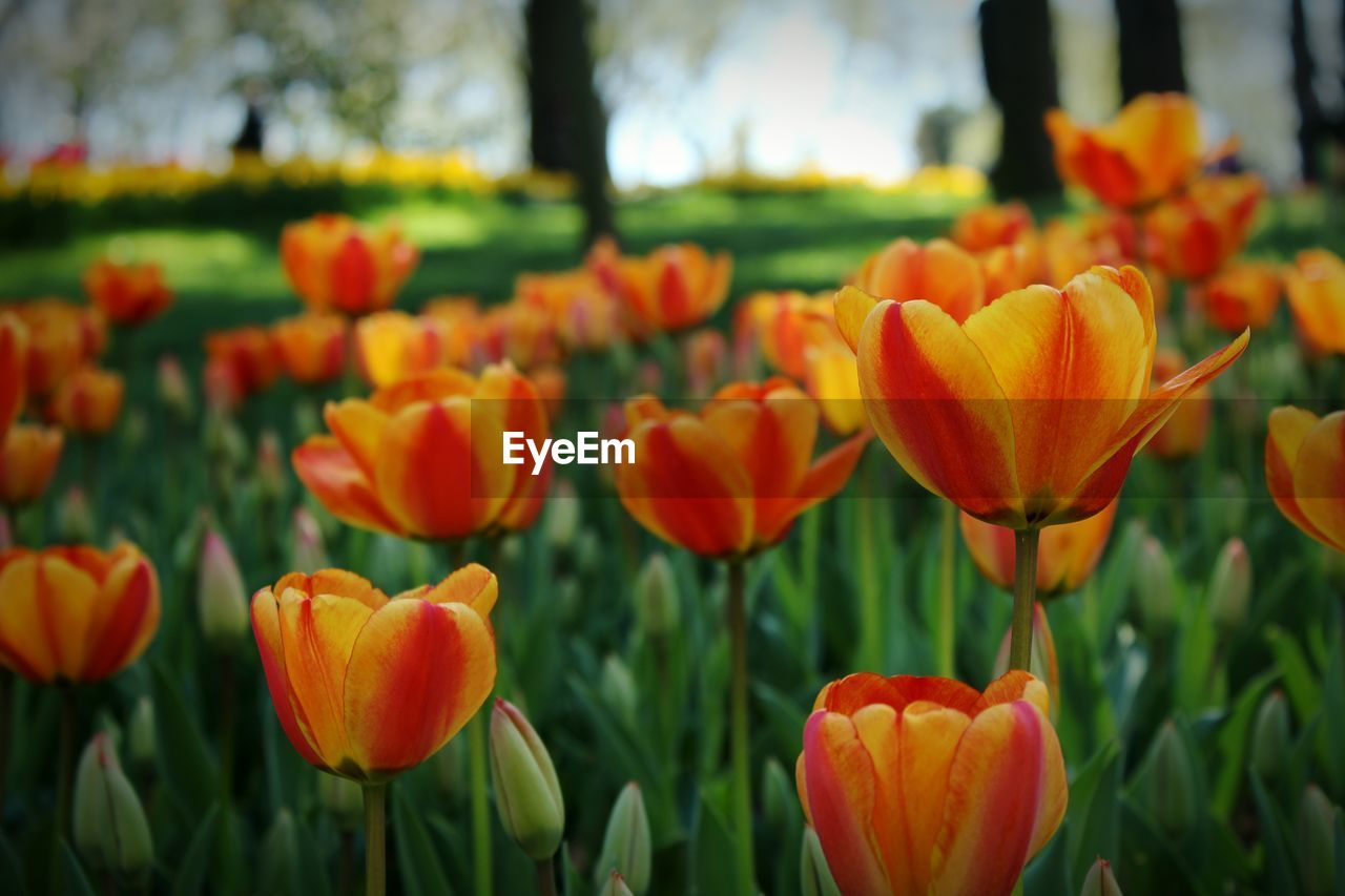 flower, flowering plant, plant, beauty in nature, freshness, fragility, growth, vulnerability, petal, close-up, orange color, flower head, tulip, inflorescence, nature, field, focus on foreground, no people, land, day, outdoors, flowerbed, springtime, orange