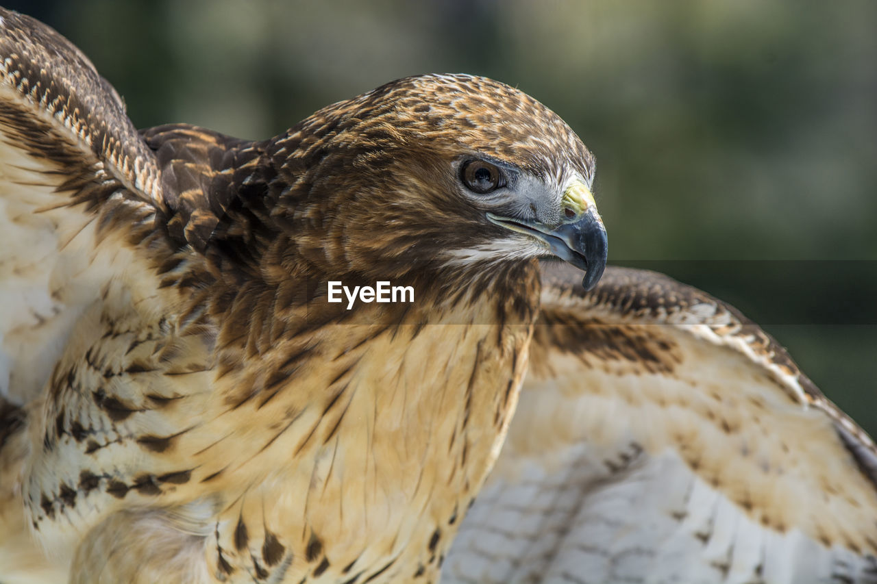 Close-up of a hawk looking away