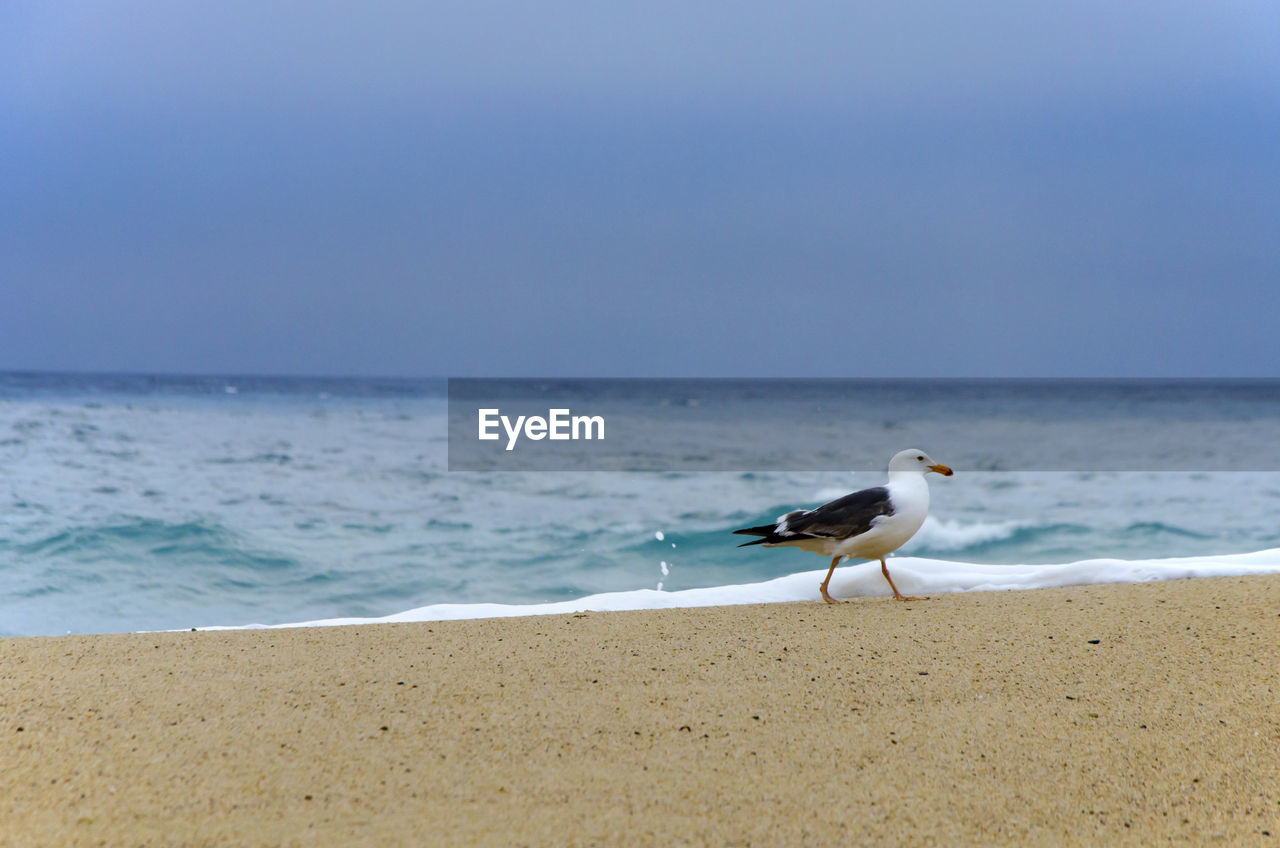 sea, beach, horizon over water, bird, shore, water, nature, sand, one animal, animal themes, animals in the wild, beauty in nature, wave, seagull, sea bird, scenics, animal wildlife, day, no people, outdoors, perching, clear sky, sky