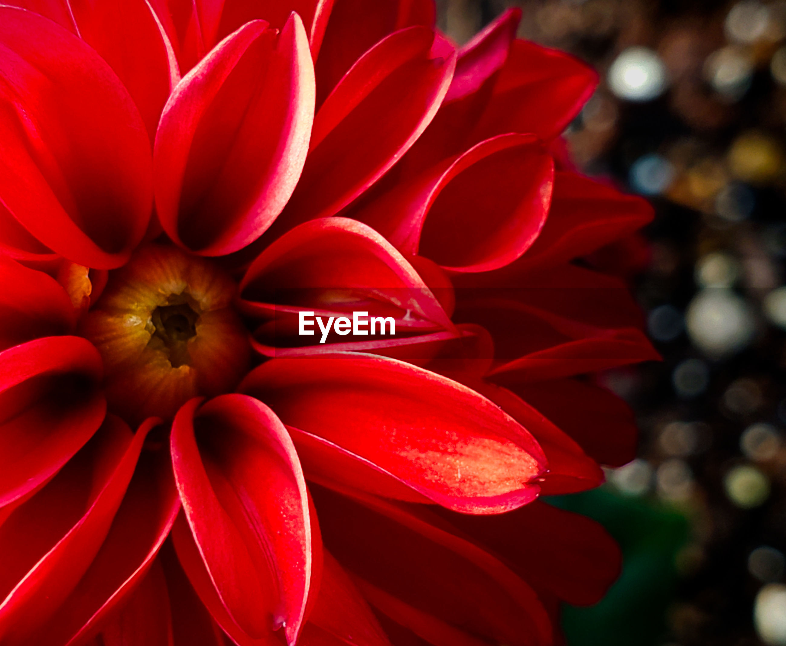 CLOSE-UP OF RED DAHLIA OUTDOORS