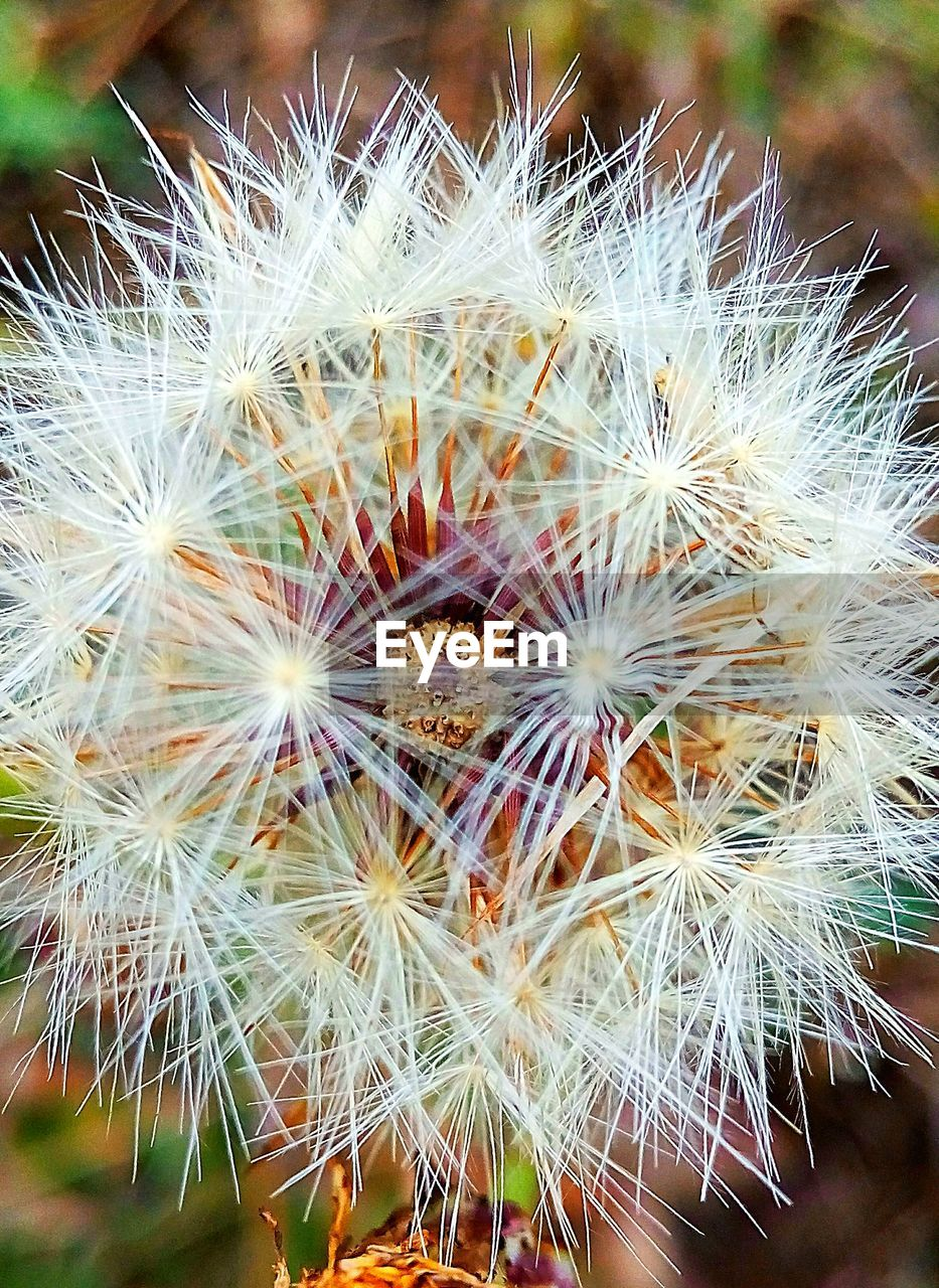 plant, flower, fragility, flowering plant, beauty in nature, growth, vulnerability, freshness, inflorescence, dandelion, close-up, flower head, day, focus on foreground, nature, no people, cactus, succulent plant, dandelion seed, outdoors, softness