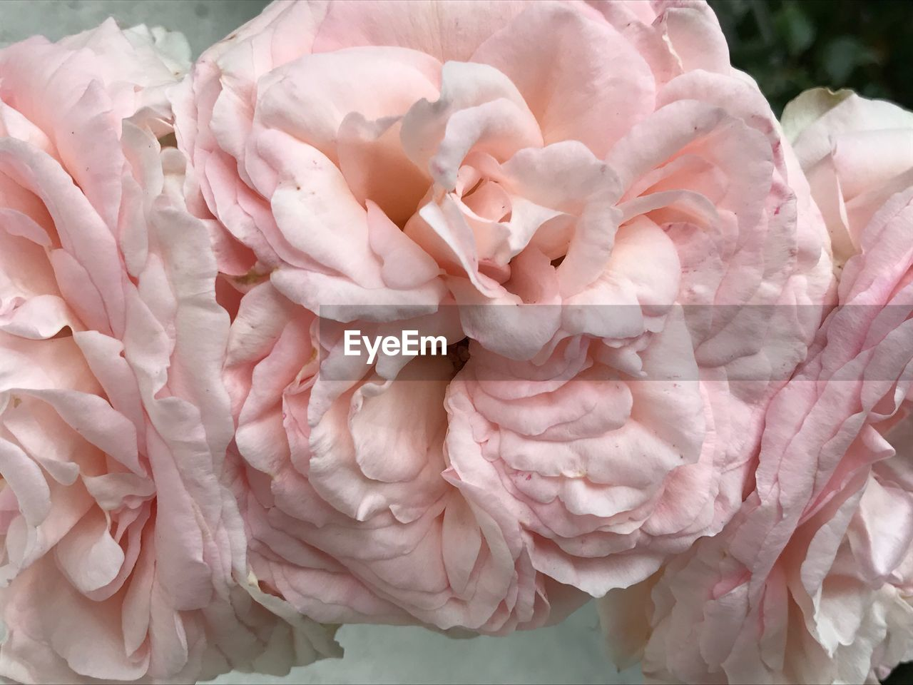 flower, pink color, fragility, petal, nature, freshness, beauty in nature, flower head, rose - flower, no people, close-up, blossom, backgrounds, day, outdoors, growth, peony