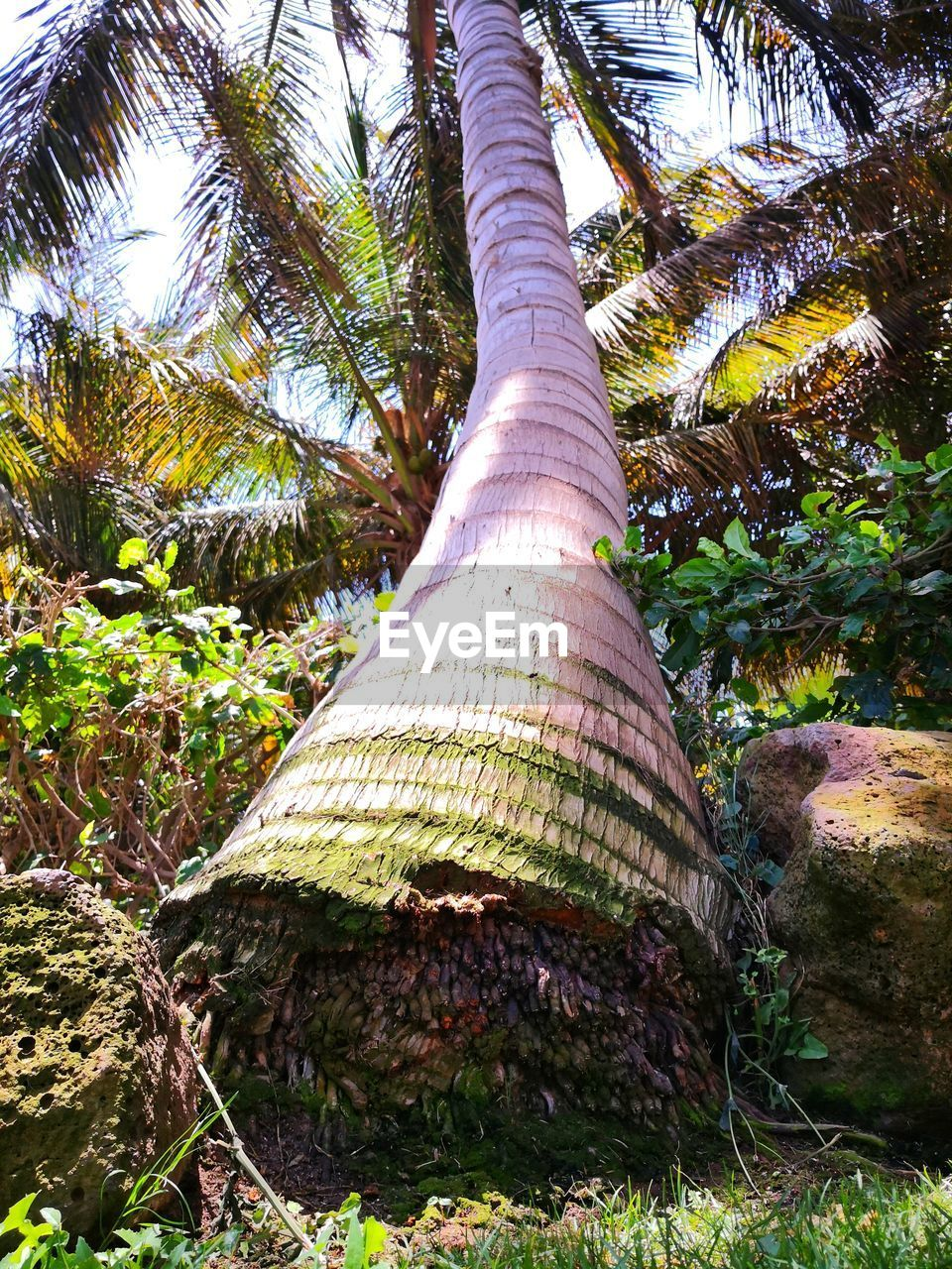 plant, tree, trunk, tree trunk, nature, day, growth, no people, land, sunlight, forest, low angle view, beauty in nature, tranquility, outdoors, tall - high, grass, palm tree, branch, tropical climate