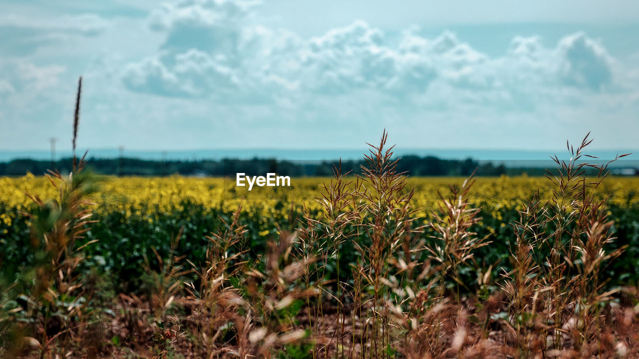 growth, nature, agriculture, field, tranquility, beauty in nature, plant, farm, crop, tranquil scene, no people, day, focus on foreground, rural scene, outdoors, scenics, landscape, sky, close-up, freshness