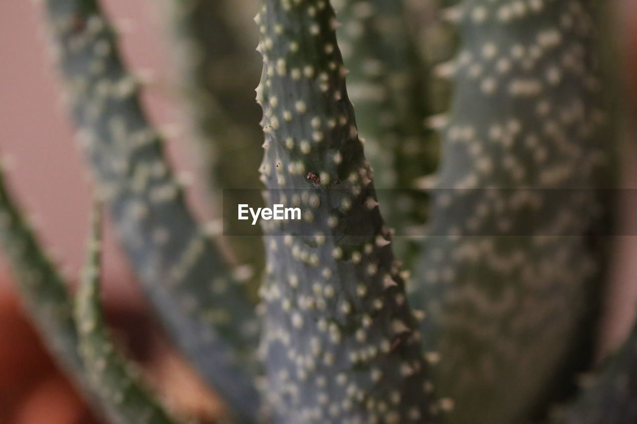 plant, growth, close-up, beauty in nature, selective focus, nature, no people, day, succulent plant, cactus, outdoors, tranquility, natural pattern, freshness, green color, pattern, botany, fragility, animal themes, thorn