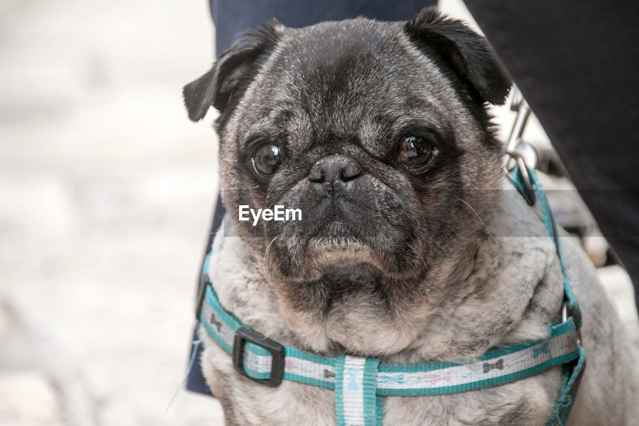 one animal, pets, dog, domestic animals, domestic, canine, mammal, pug, lap dog, portrait, close-up, looking at camera, focus on foreground, small, vertebrate, day, people, purebred dog