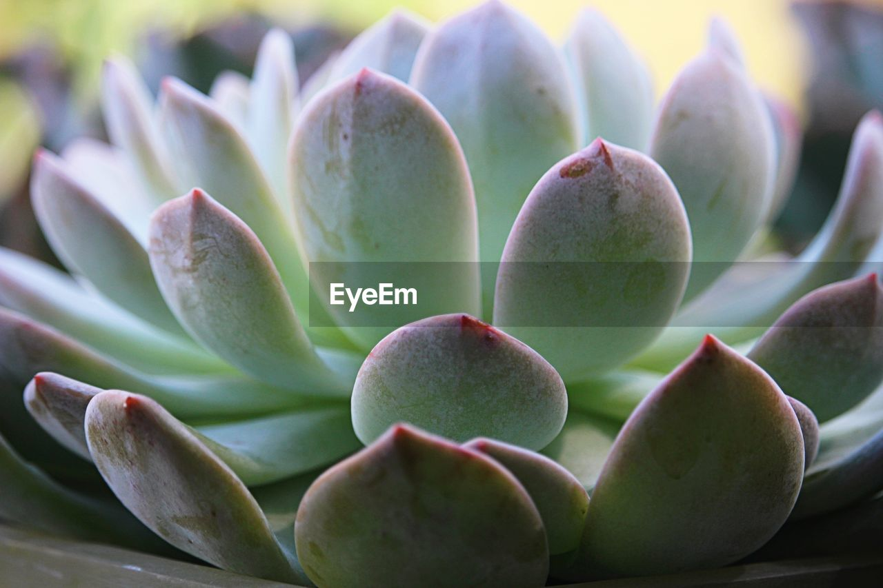 succulent plant, close-up, plant, growth, beauty in nature, no people, cactus, focus on foreground, green color, nature, day, freshness, selective focus, flower, leaf, plant part, outdoors, full frame, botany, natural pattern