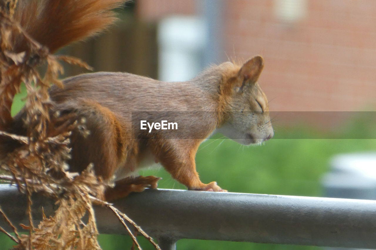 animal themes, animal, mammal, one animal, animal wildlife, focus on foreground, animals in the wild, vertebrate, no people, close-up, day, rodent, squirrel, outdoors, selective focus, nature, side view, wall, sitting, looking, whisker