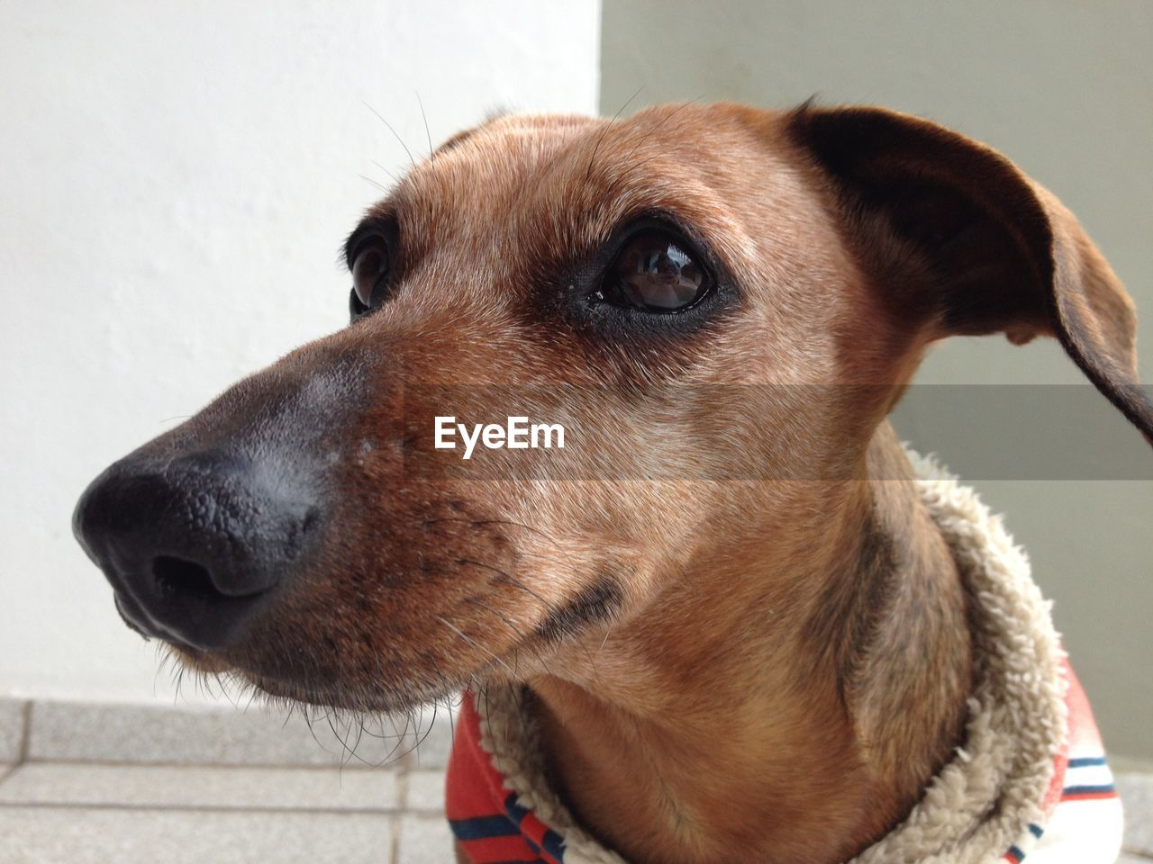 one animal, pets, domestic, domestic animals, dog, animal themes, canine, animal, mammal, vertebrate, close-up, looking, looking away, animal body part, no people, animal head, indoors, brown, day, focus on foreground, animal eye, snout, animal nose