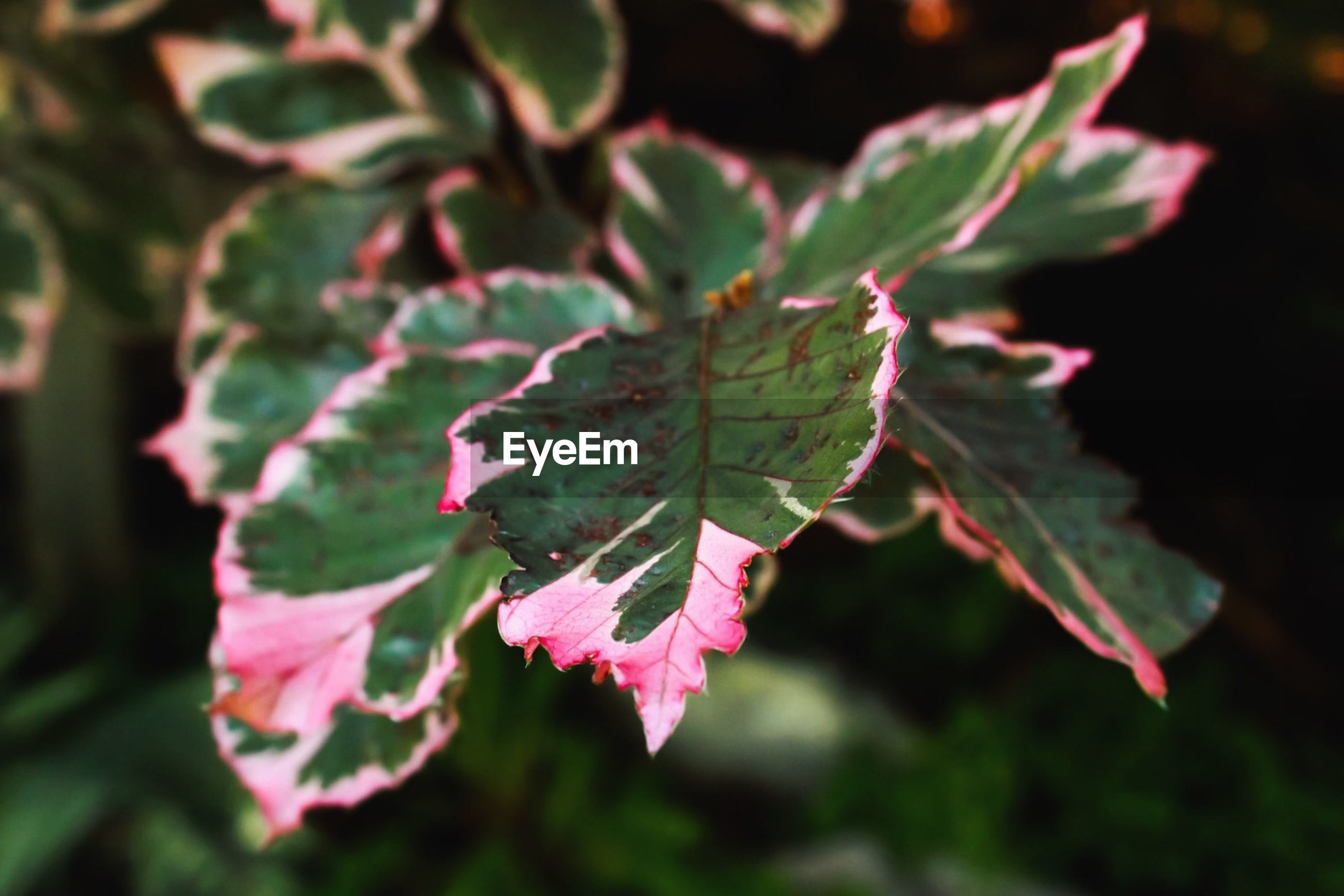 Close-up of pink and green eaves growing on plant