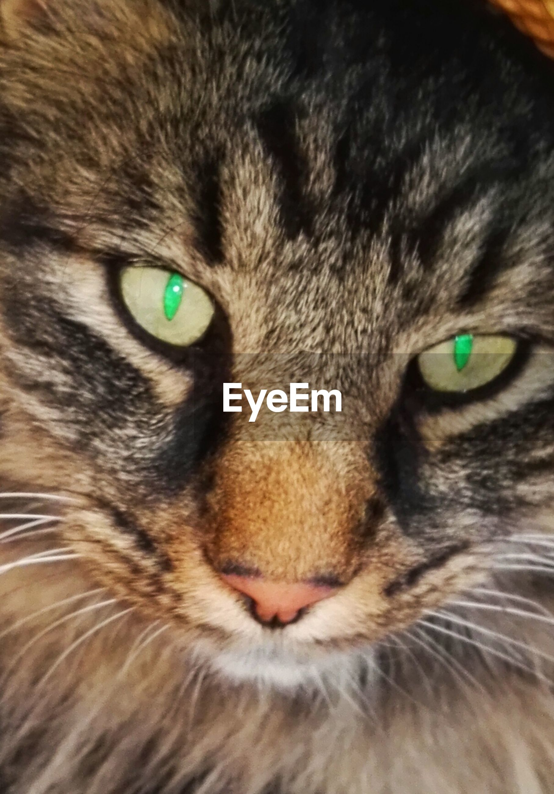 animal themes, one animal, domestic cat, domestic animals, cat, whisker, close-up, pets, backgrounds, mammal, looking at camera, feline, animal eye, full frame, animal head, alertness, focus on foreground, no people, green color, extreme close up, animal, snout, animal hair