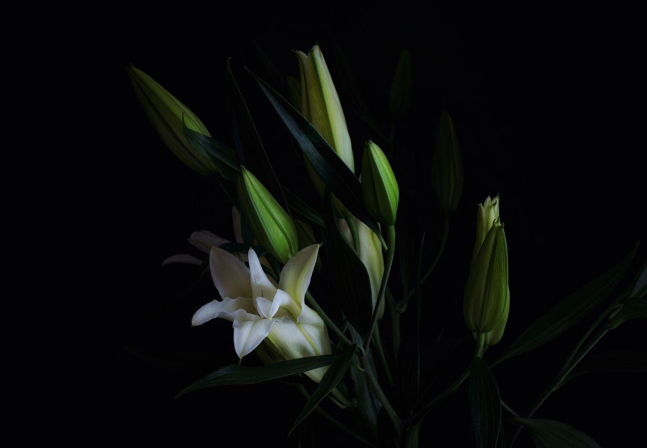 plant, flower, fragility, beauty in nature, vulnerability, flowering plant, freshness, close-up, petal, growth, studio shot, nature, plant part, leaf, black background, flower head, inflorescence, no people, green color, white color, outdoors, flower arrangement