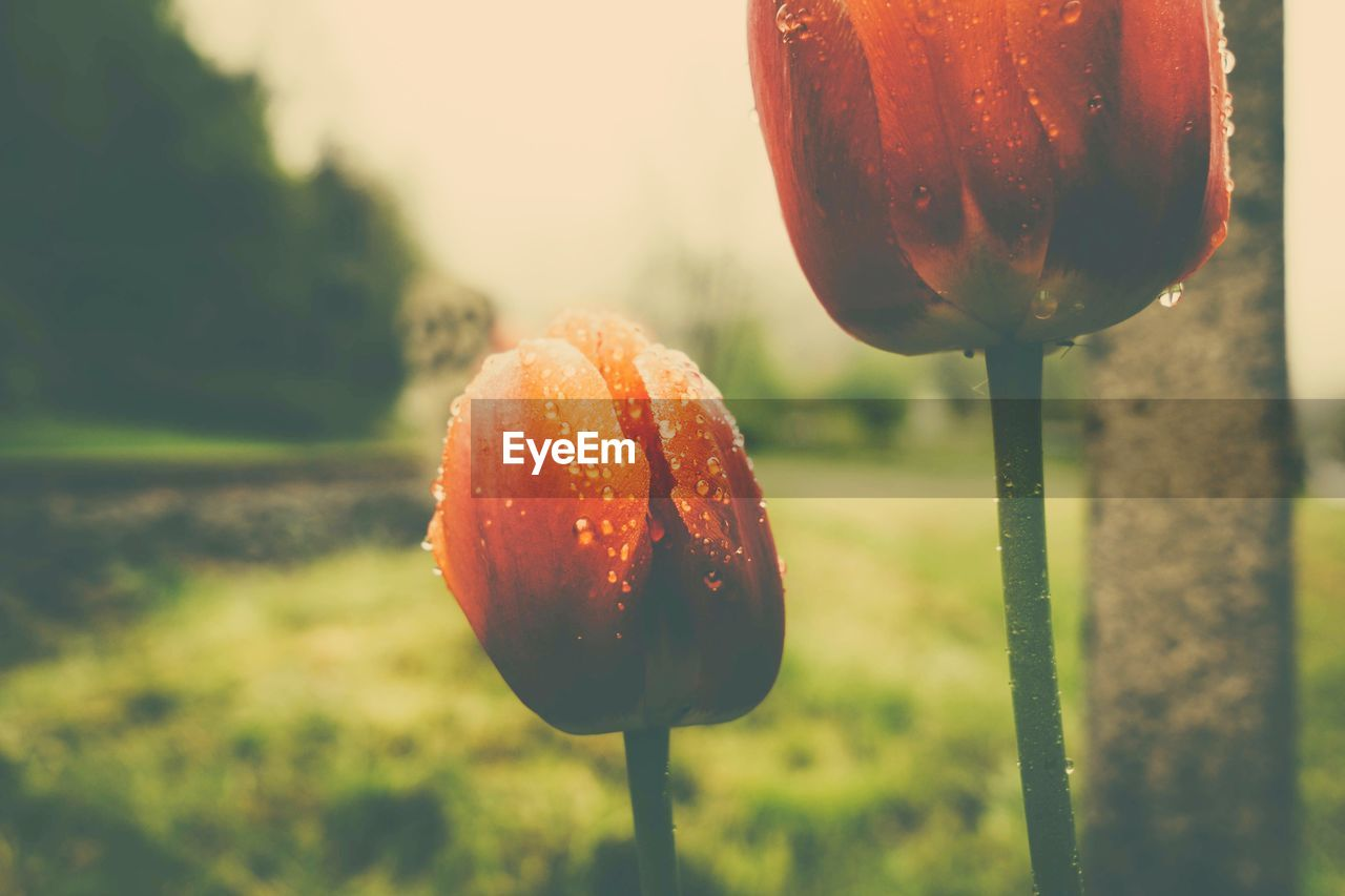 focus on foreground, orange color, nature, close-up, beauty in nature, no people, drop, growth, freshness, outdoors, water, day, fragility, red, food, dripping