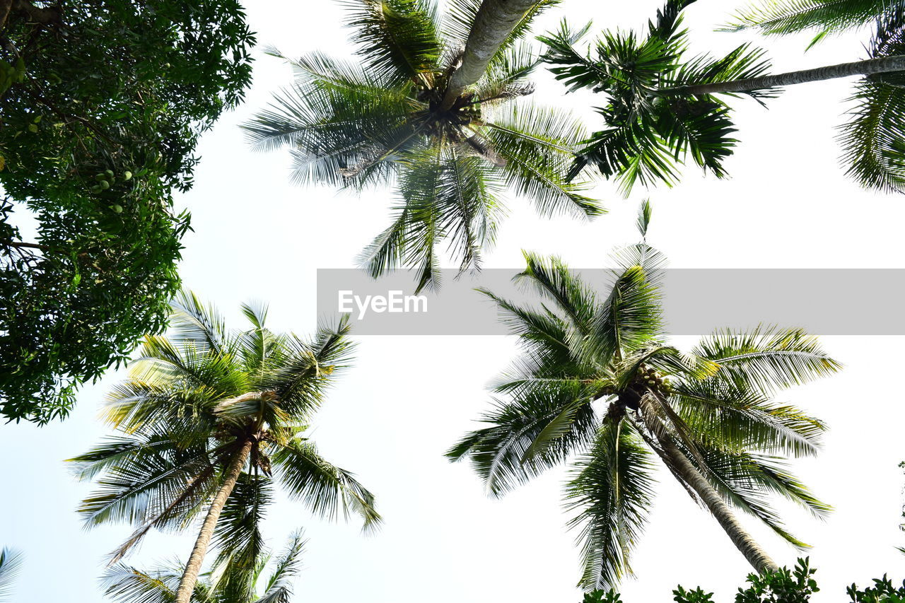 tree, plant, sky, tropical climate, palm tree, low angle view, growth, no people, trunk, beauty in nature, nature, tree trunk, tranquility, clear sky, outdoors, day, branch, tall - high, coconut palm tree, leaf, directly below, tropical tree, palm leaf