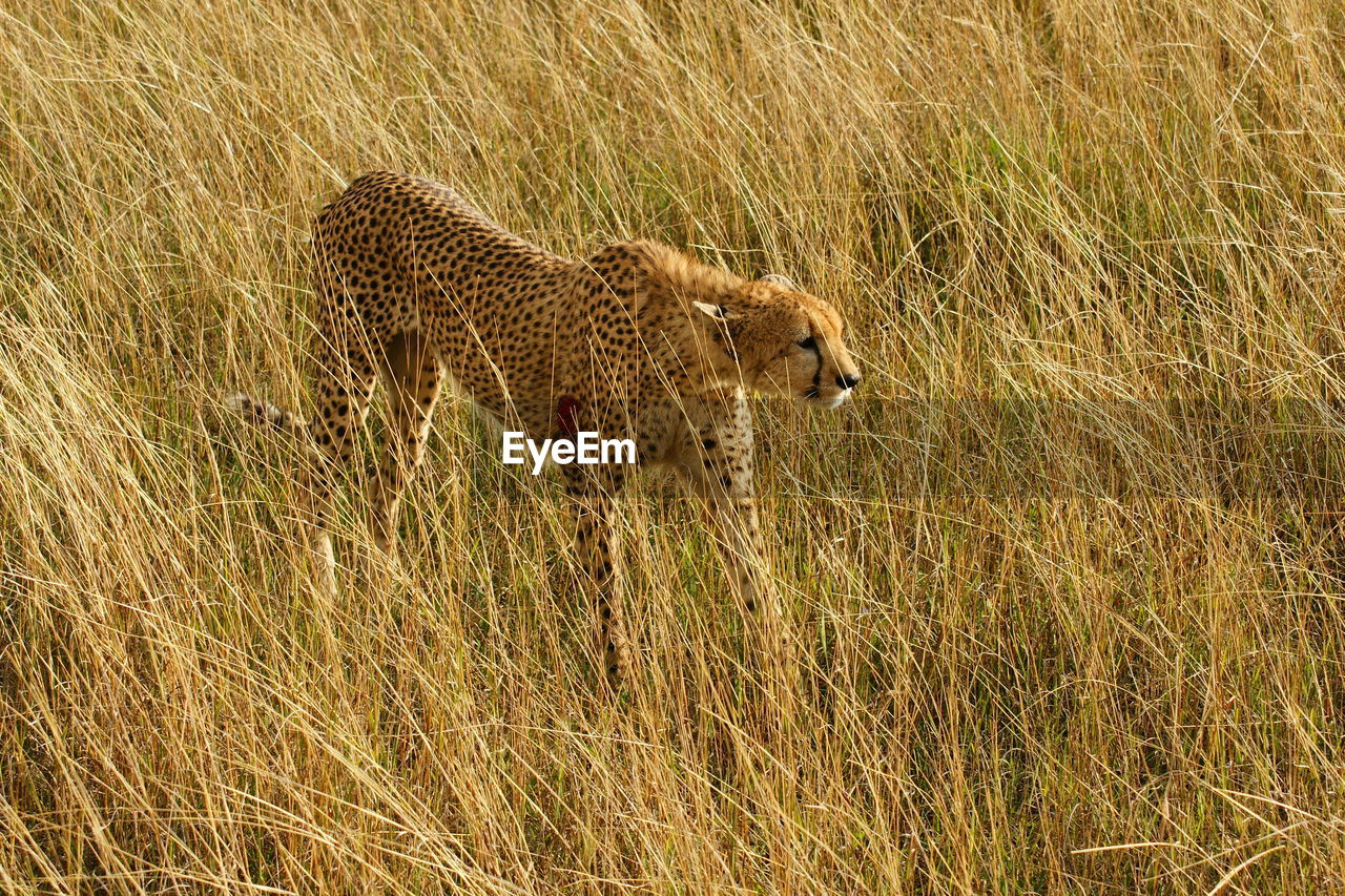 High angle view of cheetah on grassy field