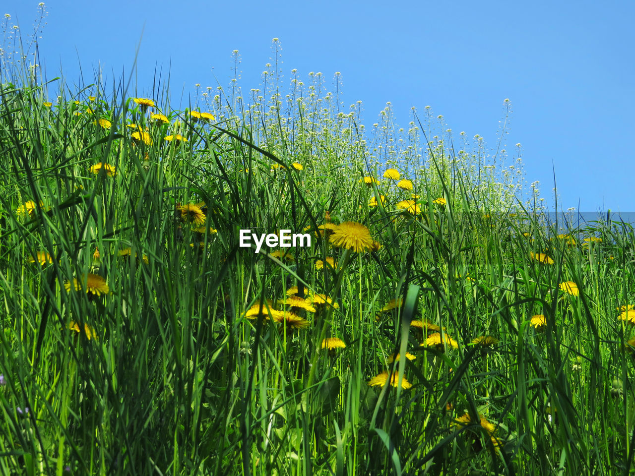 Grass Low Angle View Yellow And Green Beauty In Nature Blue Clear Sky Contrast Day Field Freshness Green Color Growth Land Nature Outdoors Taraxacum