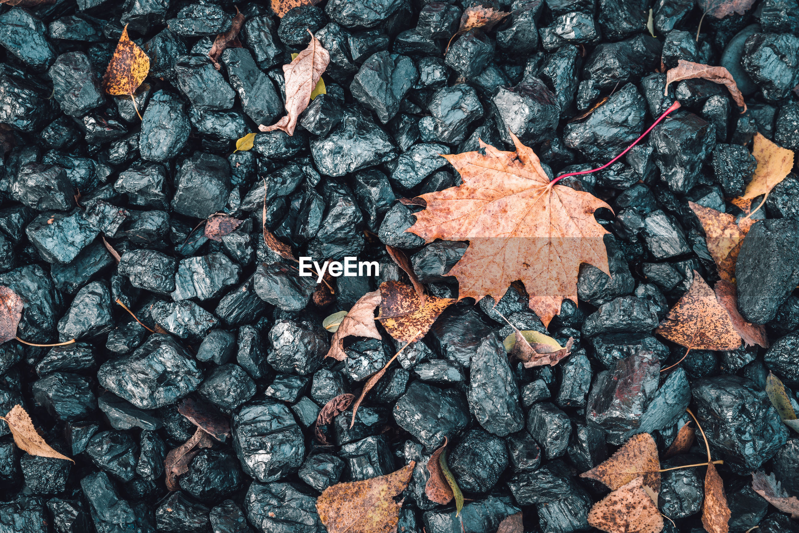 HIGH ANGLE VIEW OF DRY MAPLE LEAVES ON GROUND
