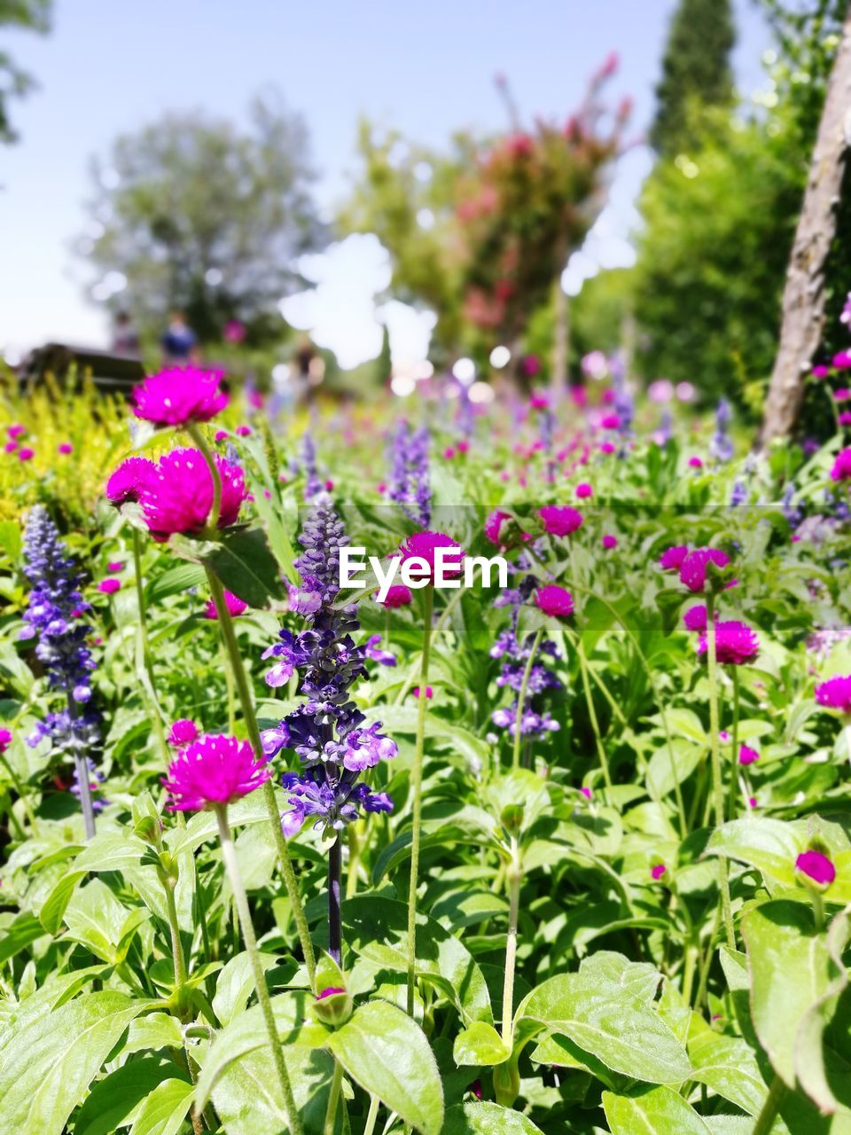 growth, flower, plant, nature, beauty in nature, fragility, freshness, green color, day, outdoors, no people, petal, leaf, blooming, field, purple, focus on foreground, flower head, close-up, flowerbed, petunia
