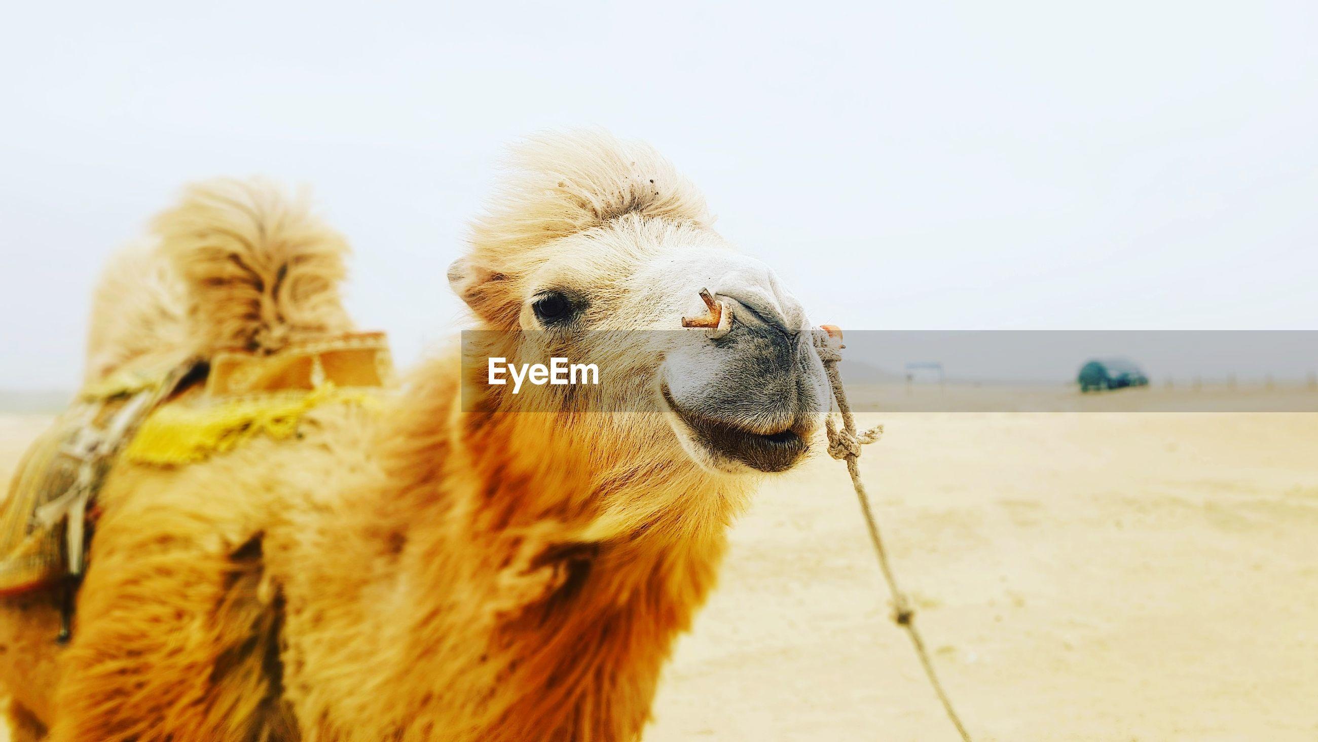 Close-up of camel at desert