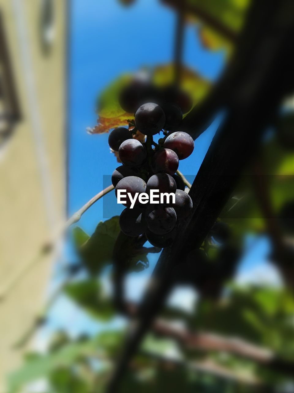 growth, fruit, nature, grape, day, outdoors, plant, close-up, no people, focus on foreground, leaf, tree, beauty in nature, freshness