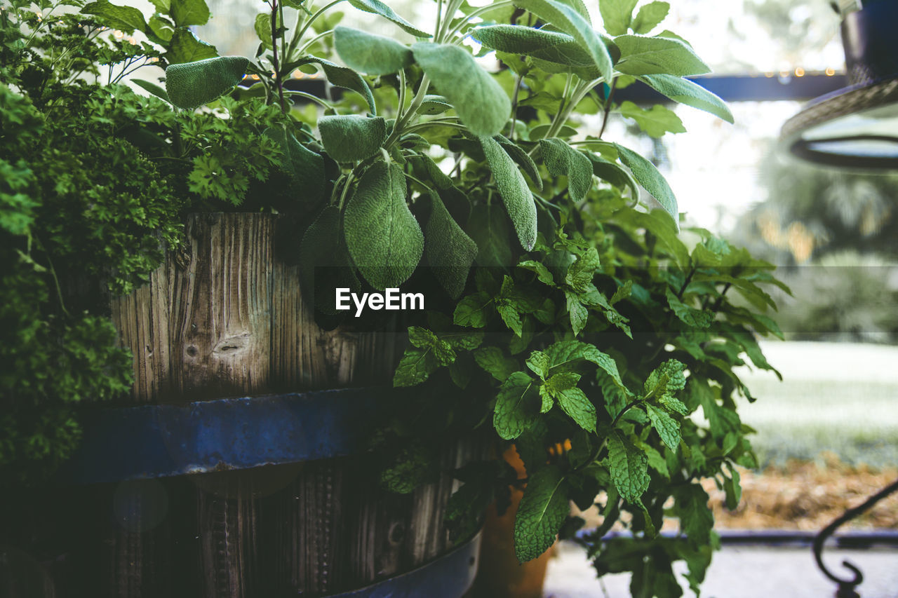 plant, growth, leaf, plant part, green color, nature, no people, close-up, potted plant, focus on foreground, day, beauty in nature, healthy eating, food and drink, food, freshness, outdoors, tree, fruit, wellbeing