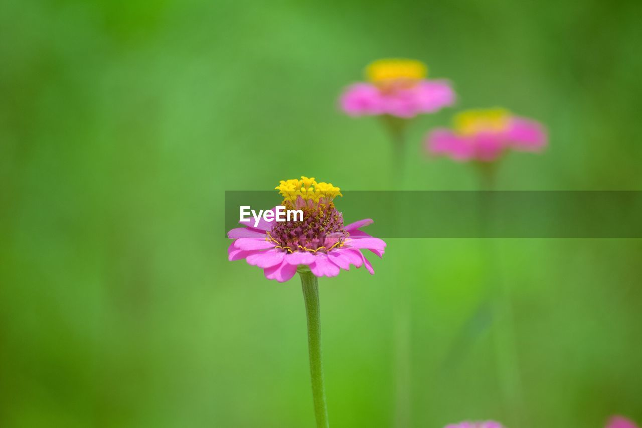 Close-up of pink zinnia flowers blooming outdoors