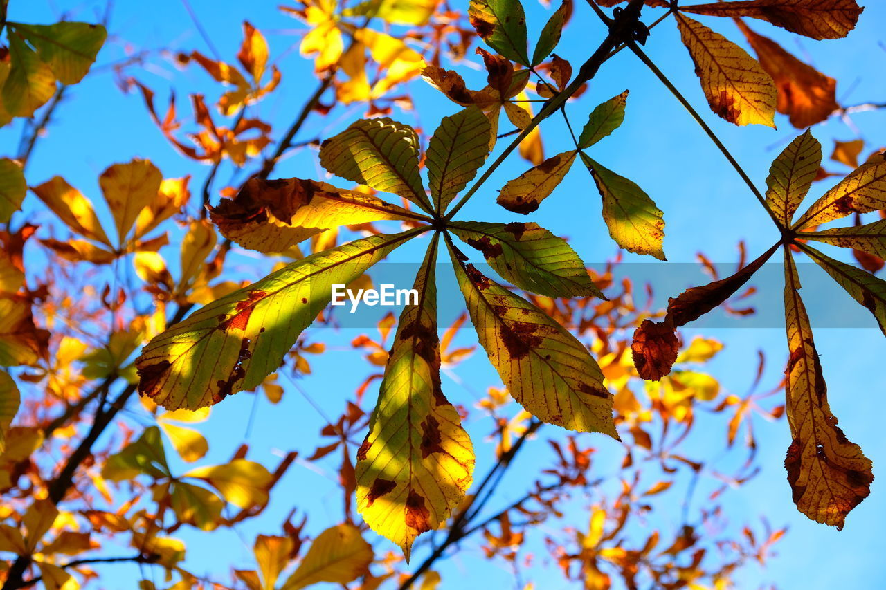 leaf, plant part, plant, autumn, growth, tree, low angle view, beauty in nature, no people, nature, day, branch, change, focus on foreground, close-up, leaves, sky, maple leaf, outdoors, tranquility, natural condition