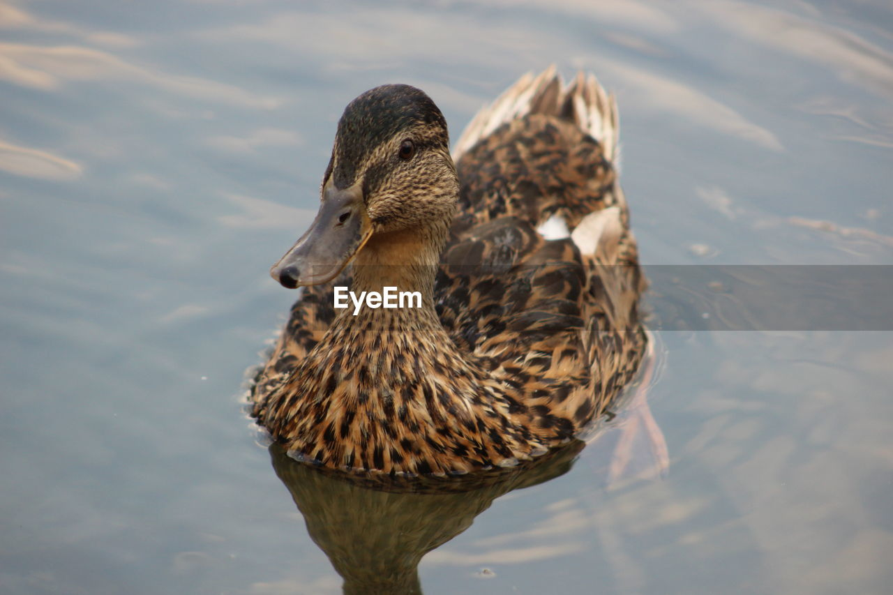 Close-Up Of Duck In Lake