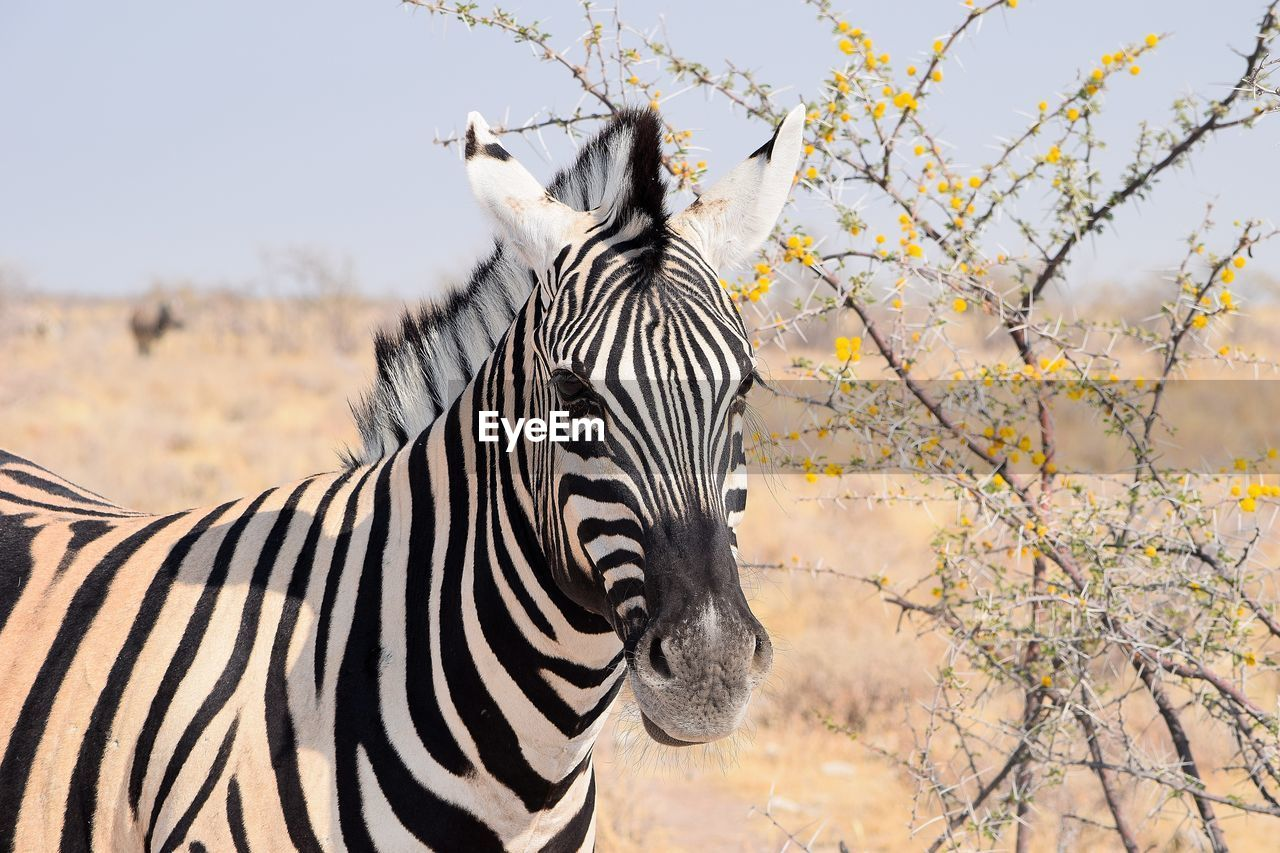 ZEBRAS STANDING IN A A HORSE