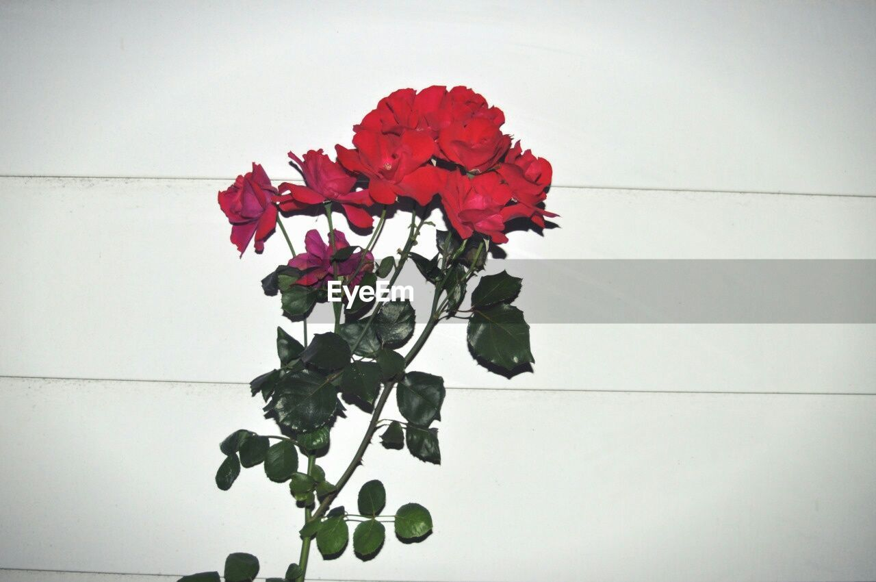 Red Roses Against Wall