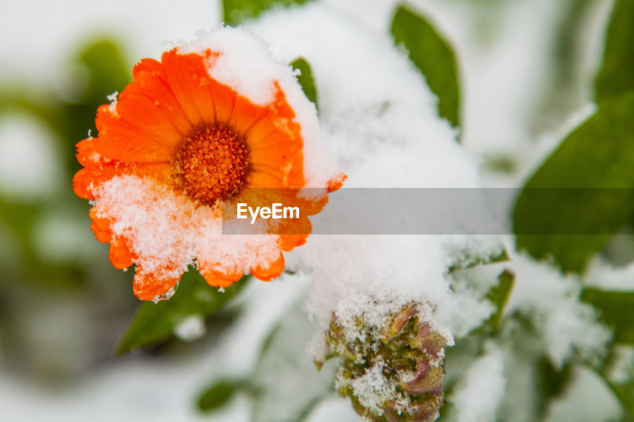 plant, flowering plant, flower, beauty in nature, fragility, vulnerability, orange color, freshness, flower head, cold temperature, inflorescence, close-up, growth, winter, snow, petal, nature, selective focus, day, no people, outdoors, ice