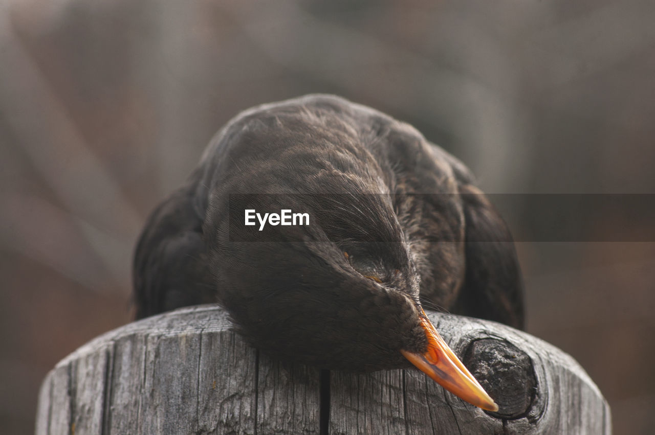 Close-up of dead bird on wooden post