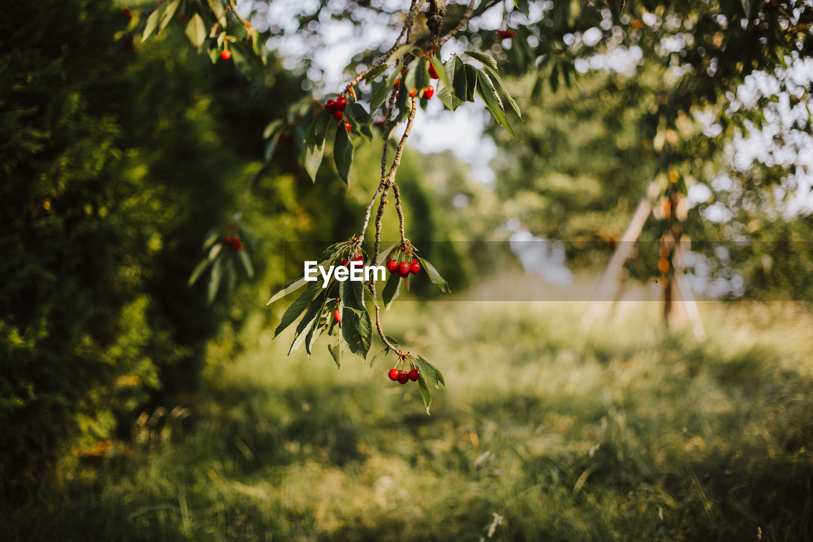 Cherries growing on tree over field