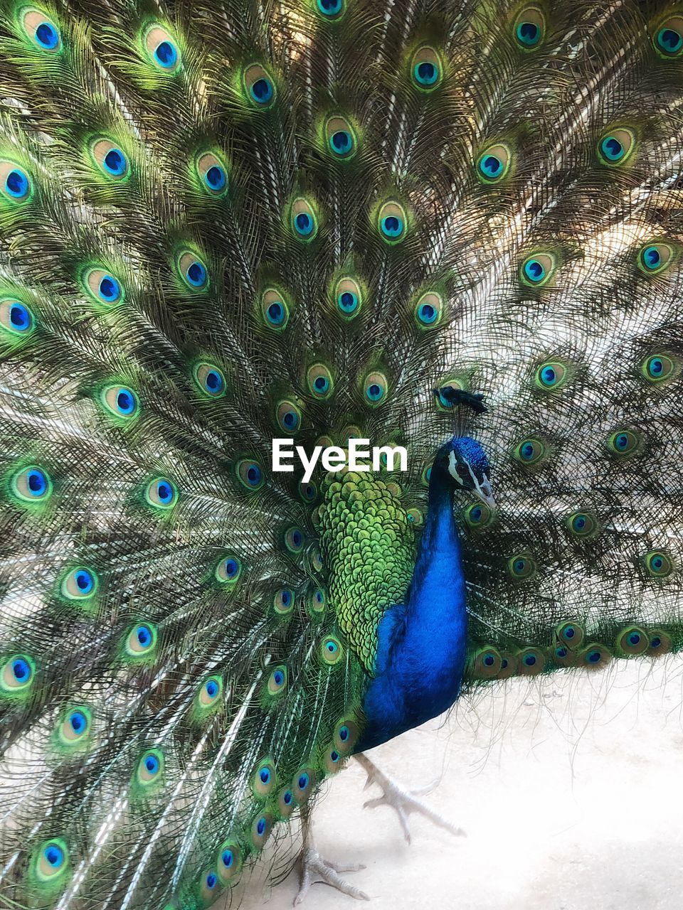 peacock, bird, feather, one animal, animal, animal wildlife, animals in the wild, vertebrate, animal themes, peacock feather, blue, fanned out, no people, day, beauty in nature, close-up, nature, outdoors, male animal, green color, animal head