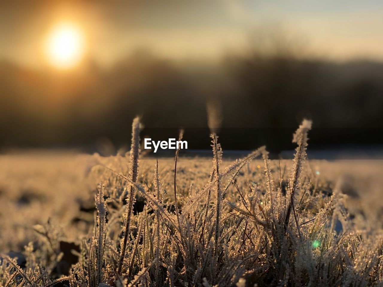 plant, tranquility, field, growth, nature, focus on foreground, close-up, beauty in nature, land, cold temperature, no people, winter, snow, selective focus, outdoors, day, sunset, sky, frozen, grass