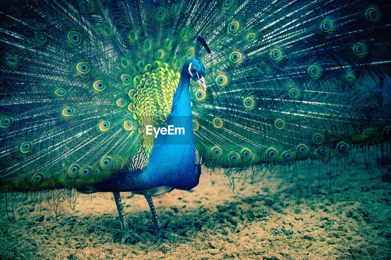 peacock, animal themes, bird, animal, one animal, peacock feather, fanned out, animal wildlife, vertebrate, animals in the wild, feather, no people, blue, beauty in nature, green color, nature, male animal, beauty, close-up, day
