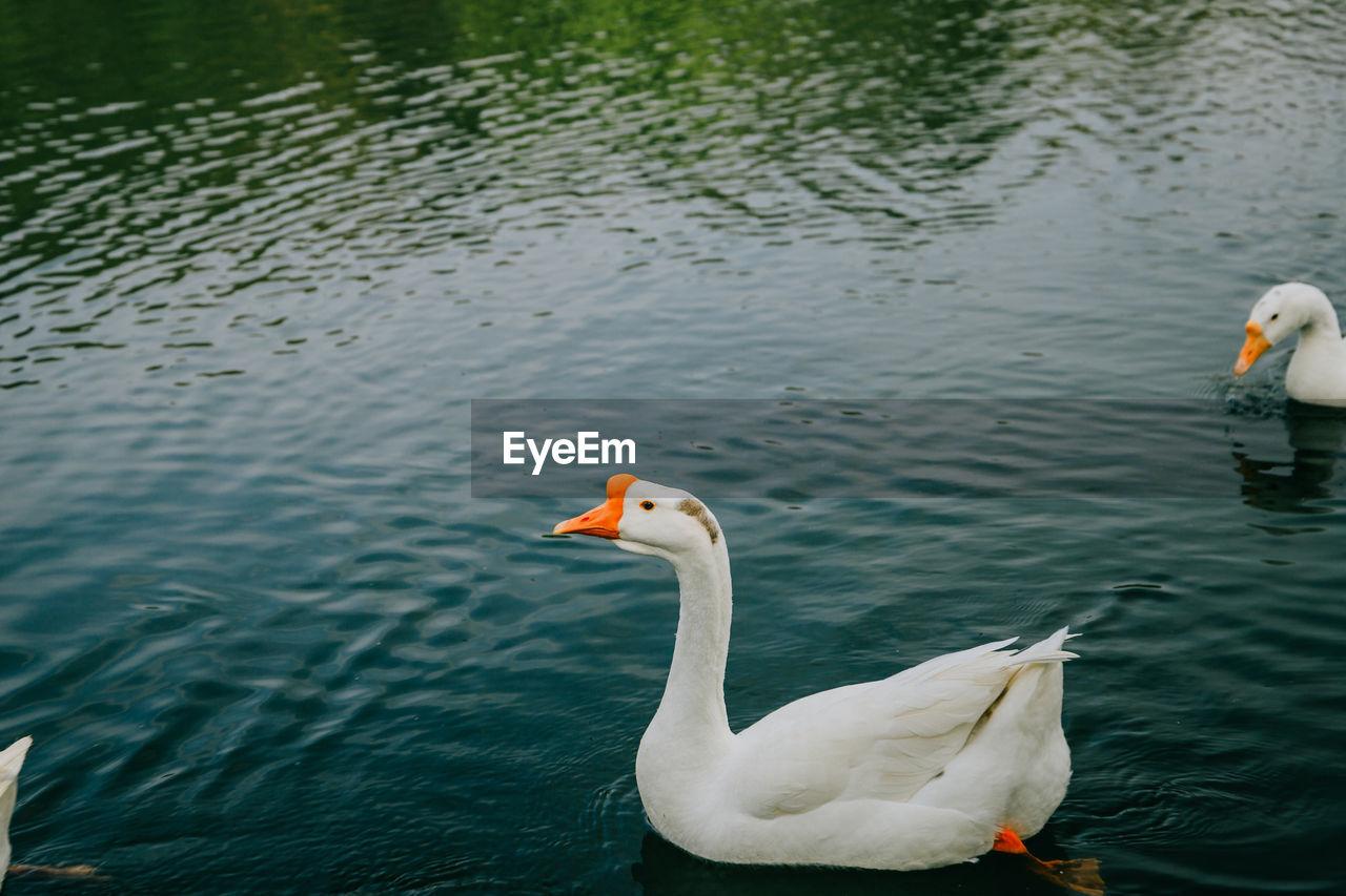 Goose swimming in lake