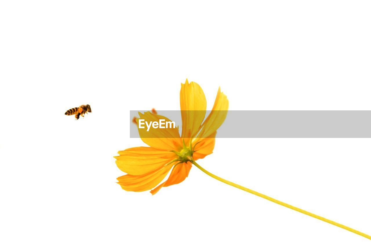 Close-Up Of Yellow Flower And Insect Over White Background