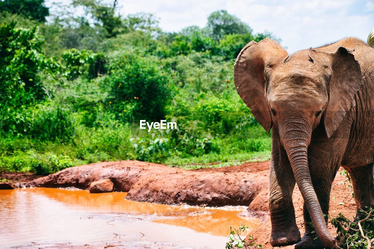 Elephants Walking By Dirty Pond In Forest
