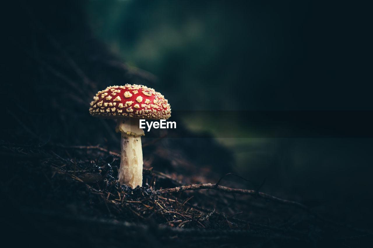 Fly Agaric Mushroom Growing On Field
