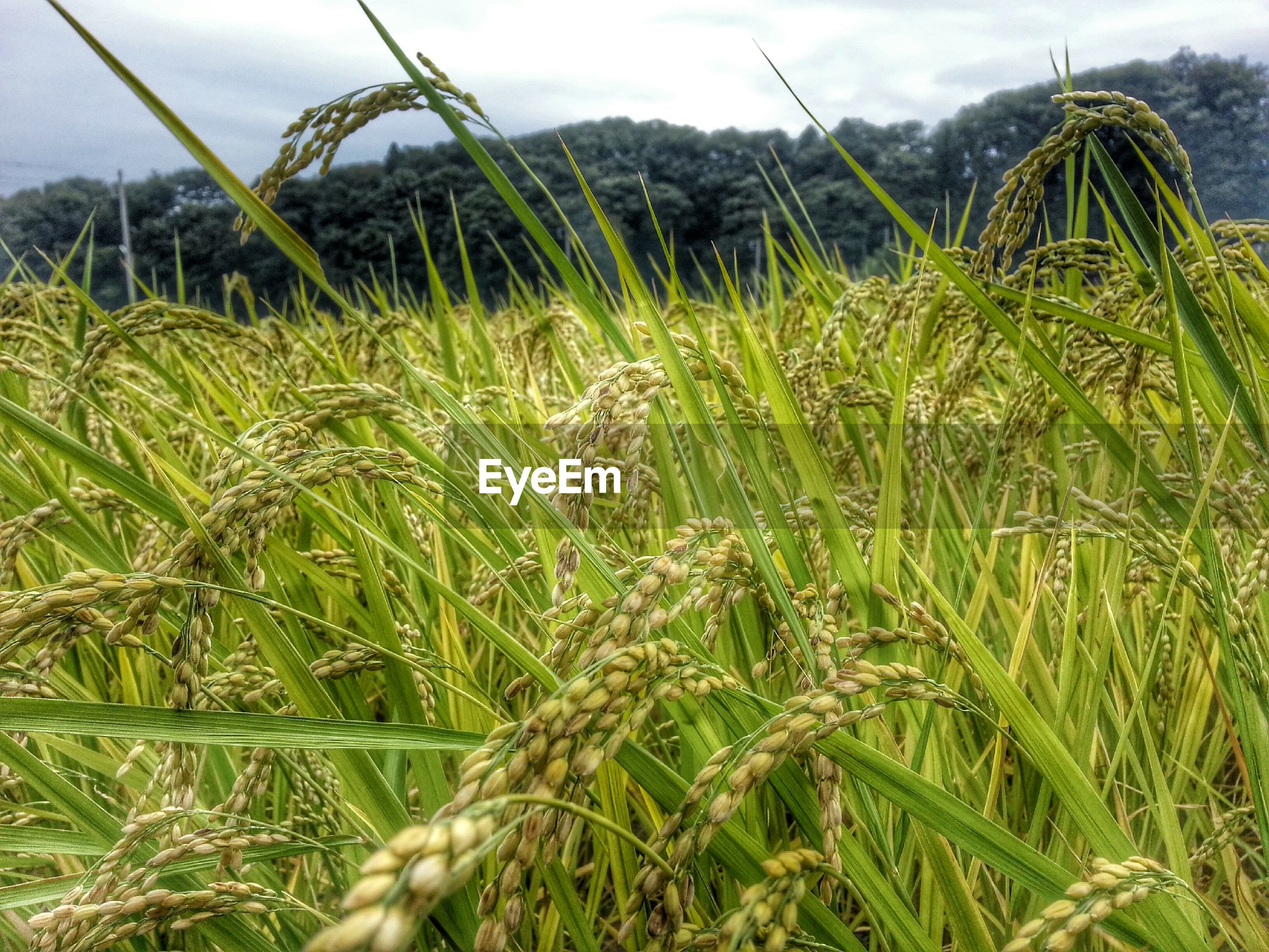 growth, agriculture, field, farm, grass, crop, rural scene, sky, green color, cereal plant, plant, nature, tranquility, landscape, cultivated land, beauty in nature, wheat, tranquil scene, close-up, growing